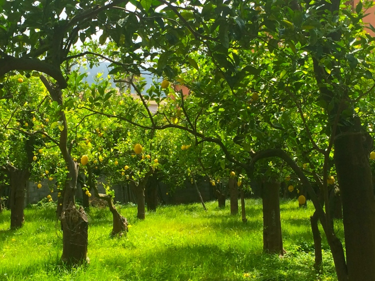 Lemon orchard in the town. Here you can buy imoncellos and walk among the trees