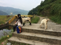 Goats and kids in Begnas