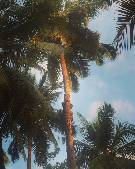 Coconut picking in Arambol