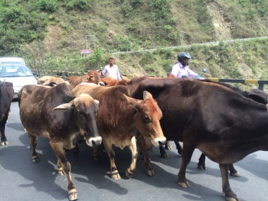 Cows and us sharing the same roads